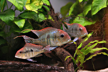 "Geophagus sp. ""Tapajos red Head"""